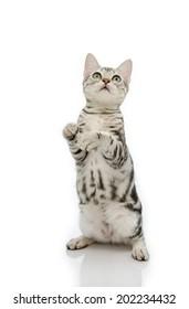 American Shorthair kitten standing on two legs.