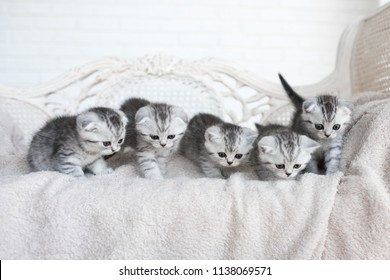 American shorthair kittens play on the grey couch
