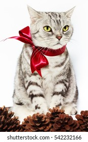 American shorthair silver cat with pine cones, tied red bow  on white background. Selective focus.