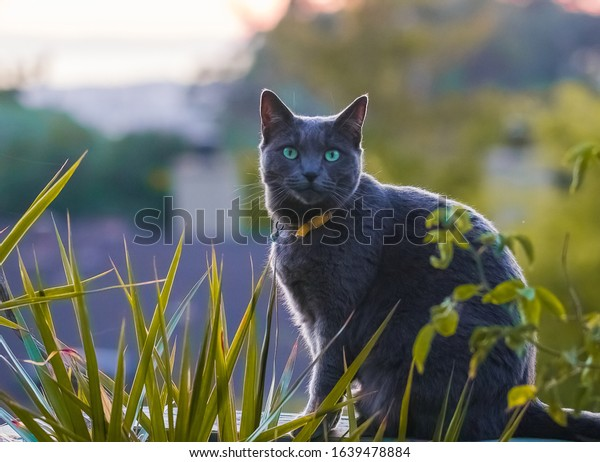 American short-haired cat gray on hill