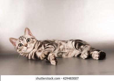 american shorthair cat images stock photos vectors shutterstock