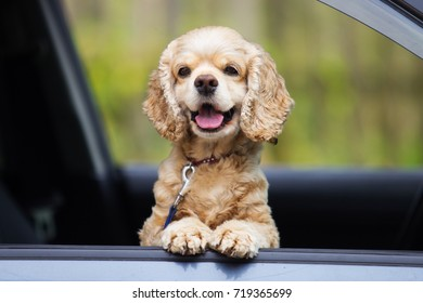 American Spaniel dog peeking out of a car window