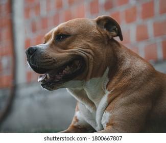 American Stafford dog smiling portrait