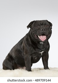 American staffordshire dog portrait. Image taken in a studio.