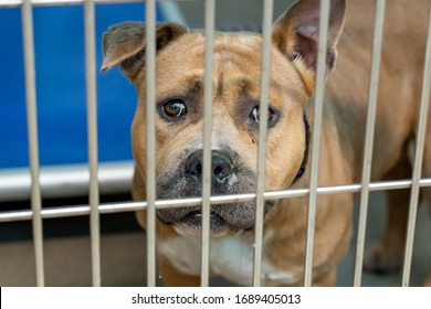 American Staffordshire Pitbull Terrier pet store dog in an animal shelter standing behind the kennel door looking cute begging for a family to get home adopted or fostered and out of the caged crate.