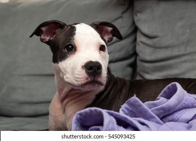 American staffordshire puppy
