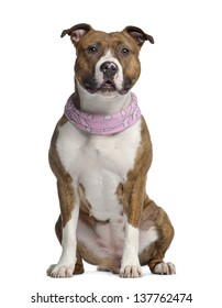 American Staffordshire terrier, 15 months old, seated, wearing a pink bandana, isolated on white