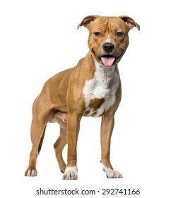 American Staffordshire Terrier (8 months old) standing in front of a white background