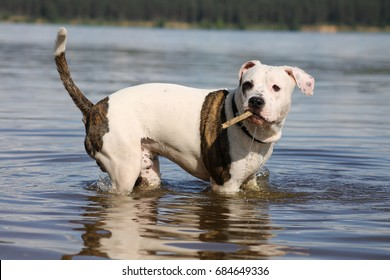 American Staffordshire Terrier in the beach. Dog in the beach