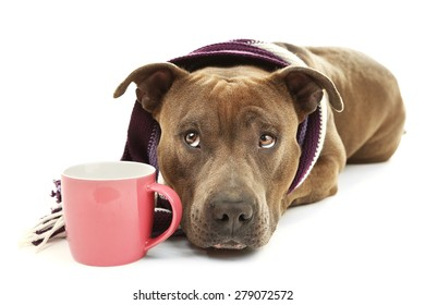 American Staffordshire Terrier with colorful scarf and cup isolated on white