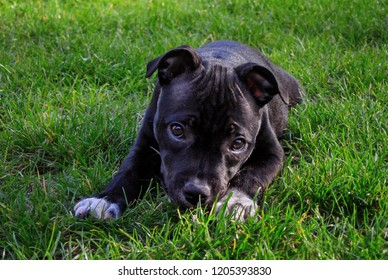 American staffordshire terrier. Cute pure bread puppy on the green ground.
