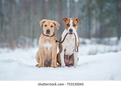 American staffordshire terrier dog holding a puppy on a leash