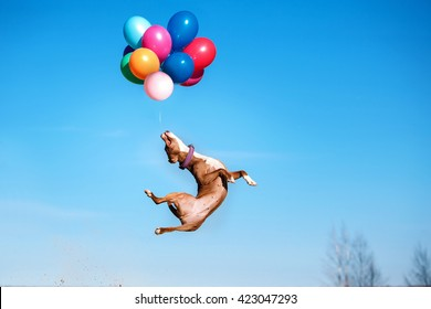 American staffordshire terrier dog jumps in the air to catch flying balloons