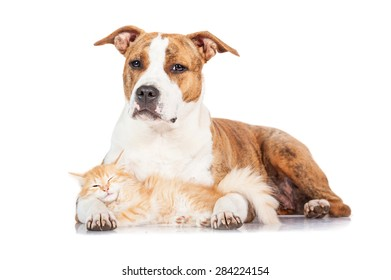 American staffordshire terrier dog with little red kitten