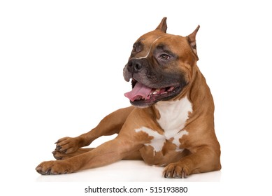 american staffordshire terrier dog lying down on white