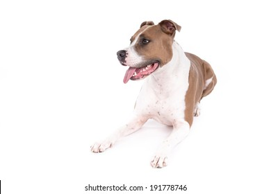 American Staffordshire terrier dog on a white background