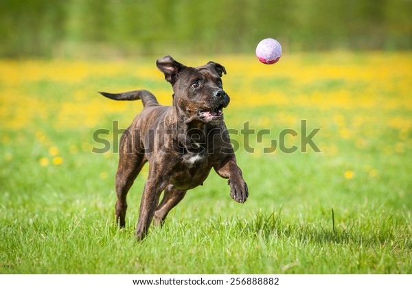 American staffordshire terrier dog playing with a ball