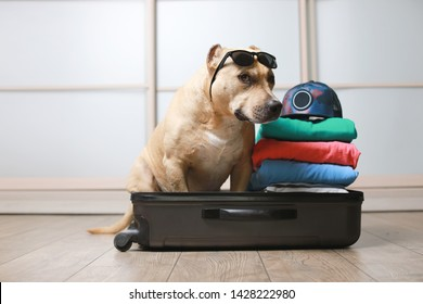 American Staffordshire terrier dog ready to go on a trip this summer vacation. Dog sitting inside a black suitcase with sunglasses isolated on home background