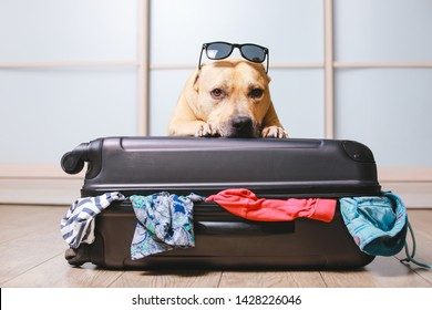 American Staffordshire terrier dog ready to go on a trip this summer vacation. Dog  a sitting behind the suitcase and put his paws on top black suitcase with sunglasses isolated on home background