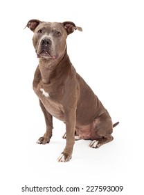 An American Staffordshire Terrier Dog sitting at an angle while looking forward.
