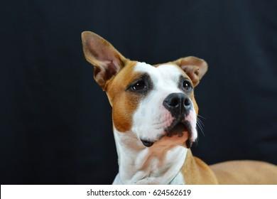 american staffordshire terrier dog. soft focus.