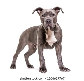 American Staffordshire Terrier dog standing, isolated