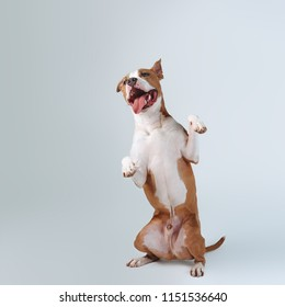 American Staffordshire Terrier dog stands on its hind legs