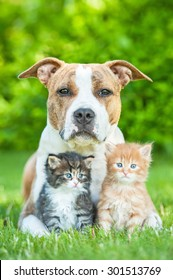 American staffordshire terrier dog with two little kittens