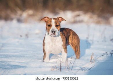 American staffordshire terrier dog in winter