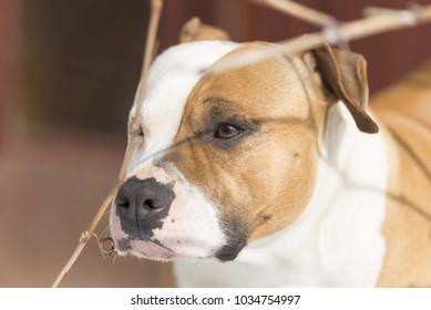 american staffordshire terrier head close up