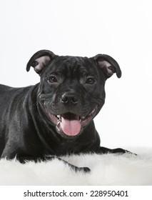 American Staffordshire Terrier head portrait. Image taken in a studio against white background.