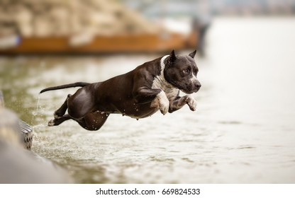 American Staffordshire Terrier in jump
