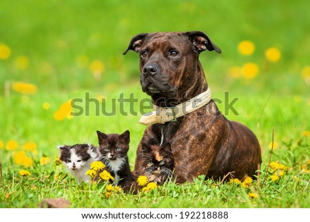 American staffordshire terrier with