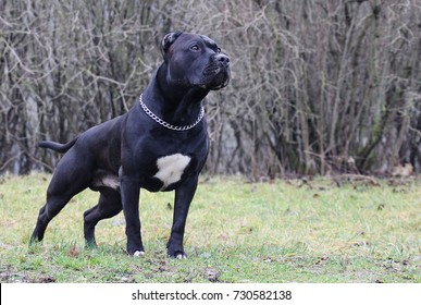 American staffordshire terrier male portrait.