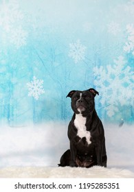 American staffordshire terrier on a snowy Christmas background. Xmas dog concept image.