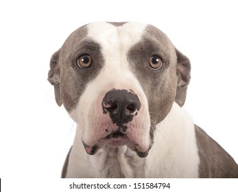 american staffordshire terrier on a white background