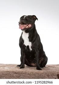 American staffordshire terrier portrait. Image taken in a studio.