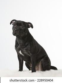 American Staffordshire Terrier portrait, image taken in a studio.