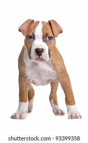 American Staffordshire Terrier pup in front of white