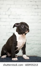 American stafford-shire terrier puppy