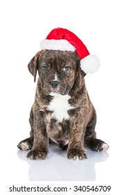 American staffordshire terrier puppy dressed in a christmas hat