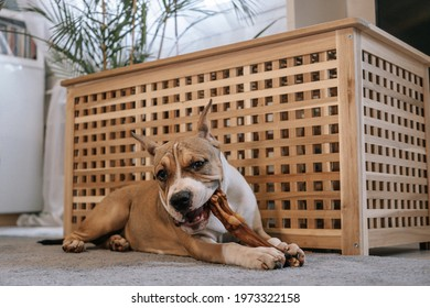 An American Staffordshire Terrier puppy gnaws a bone. Close-up portrait. The concept of keeping dogs in the house, pet delicacy.