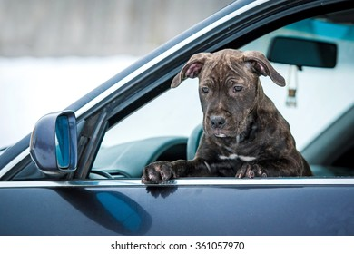 American staffordshire terrier puppy looking out the car window