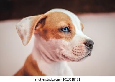 american staffordshire terrier puppy portrait