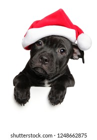 American Staffordshire terrier puppy in Santa red hat above banner, isolated on white background. Christmas animals theme