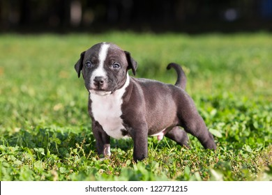 American Staffordshire Terrier Images Stock Photos Vectors