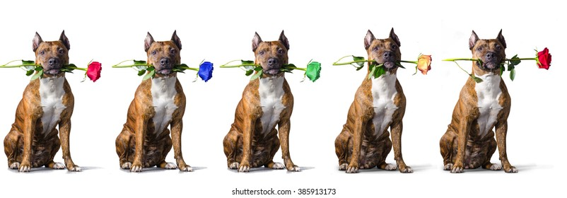 American Staffordshire Terrier with a rose before white background.