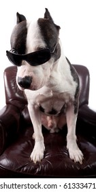 American staffordshire Terrier With sunglasses ,on a armchair ,isolated on white,looking up