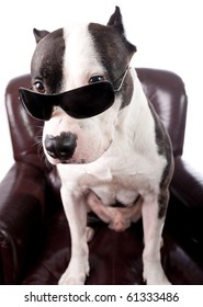 American staffordshire Terrier With sunglasses on a armchair isolated on white