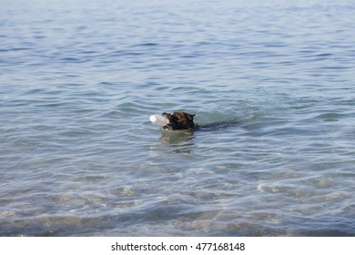 American Staffordshire Terrier swimming with the bottle